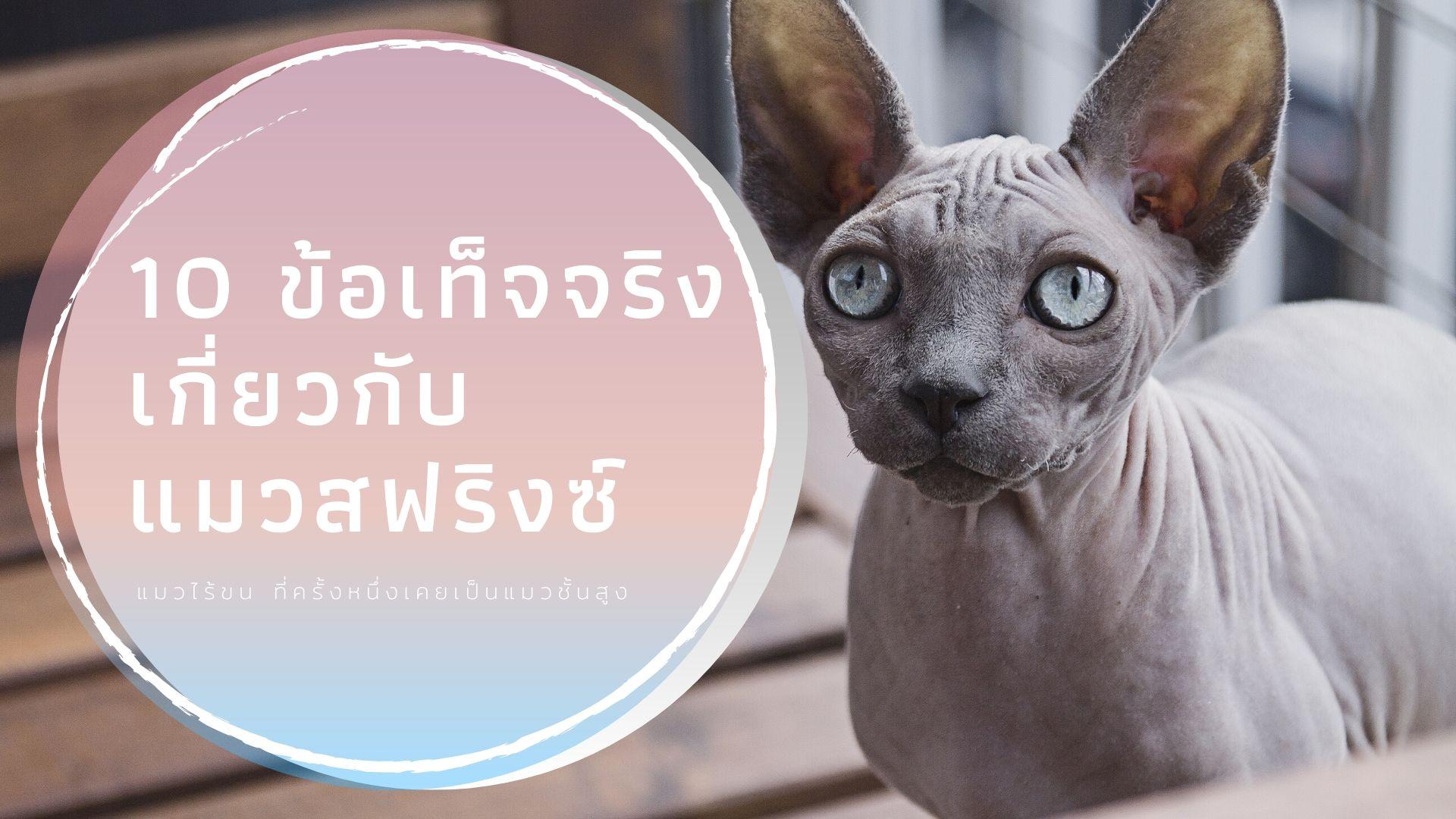 10 ข้อเท็จจริงเกี่ยวกับแมวสฟริงซ์