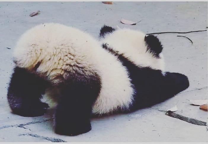 ความจริงของ หมีแพนด้า ที่คุณรู้แล้วจะหลงรักพวกมันมากขึ้น