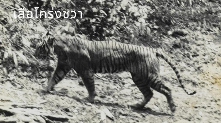 เสือโคร่งชวา