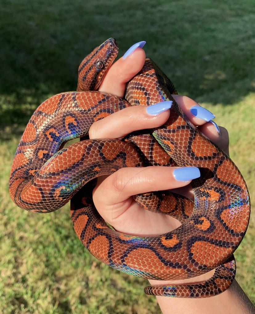 งูพันธุ์สวยงาม สำหรับเลี้ยง