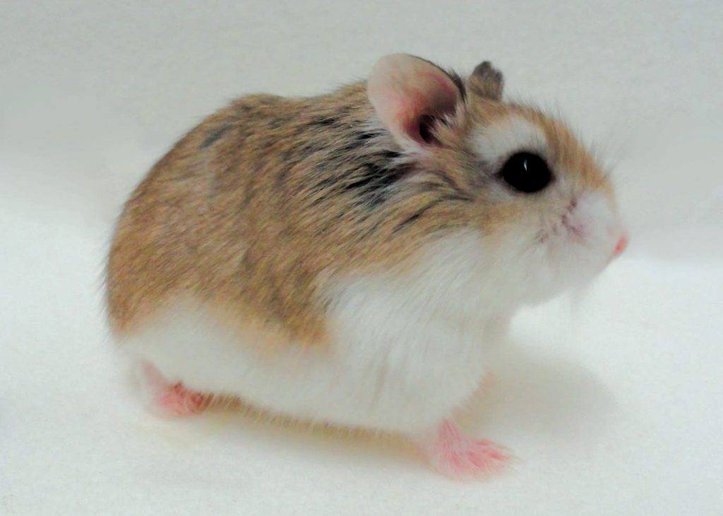 Dwarf Roborovski Hamster