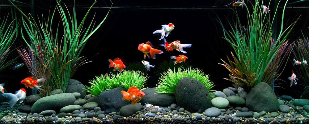 ปลาที่นิยมเลี้ยงไว้เพื่อความสวยงาม แม้อยู่ในคอนโด